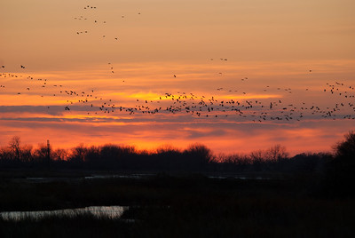 Sandhill cranes fly across a sunset-lit sky searching for their place on the river to overnight. The cranes overnight on sandbars in the middle of the Platte River to be able to hear any predators who might stalk them through the shallow water.