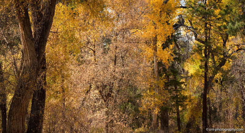 Golden Trees of Santa Fe