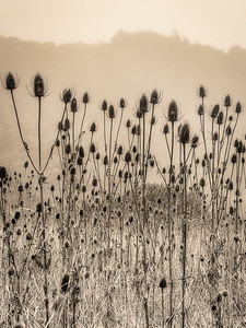 Indian Teasel, Study 4, Gualala, CA