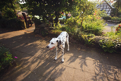 Dalmatian dog at Schloss Drachenburg, Germany, 2017.