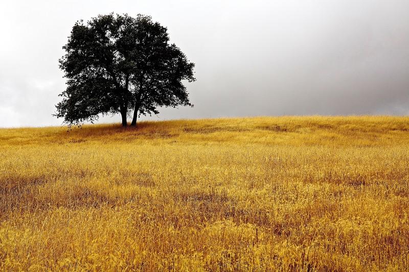 Tree. Sierra Foothills, California