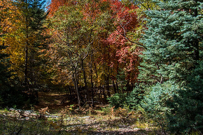 Fall Colors - October 7, 2013, Coconino National Forest.  FR139, just south of Barbershop Trail #91.