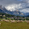 Sheep grazing near Cortina d'Ampezzo in the Dolomites, Italy