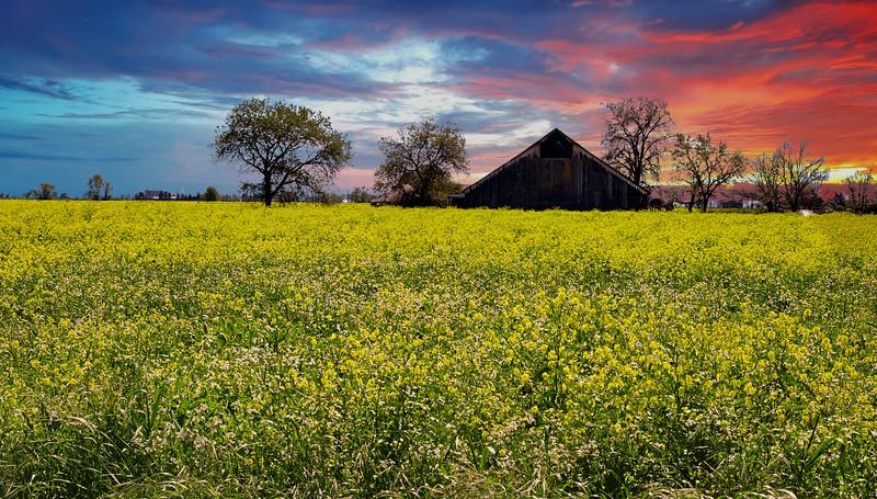 Mustard Field & Barn 5392