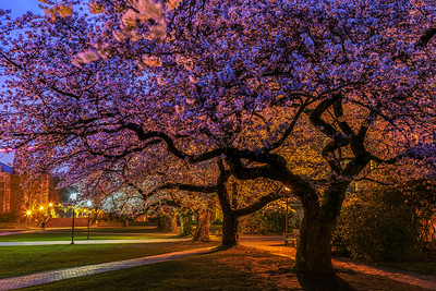 University of Washington Cherry Blossoms