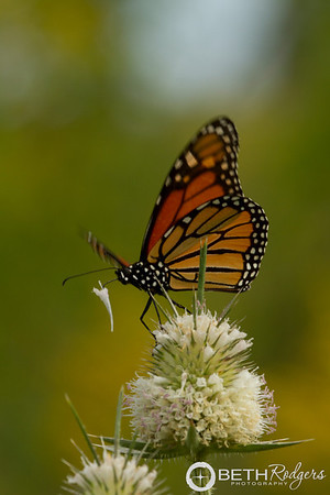 Monarch on Teasel