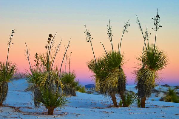 Yuccas at Sunset