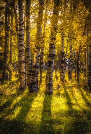 Aspen Shadows