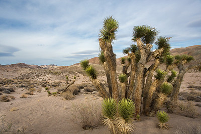 A beautiful cactus lines the walking path through Red Rock Canyon in California.