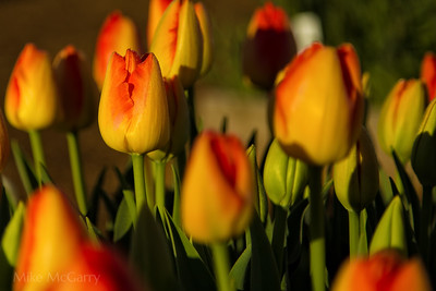 Tulip Composition