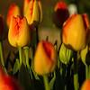 Tulip Composition