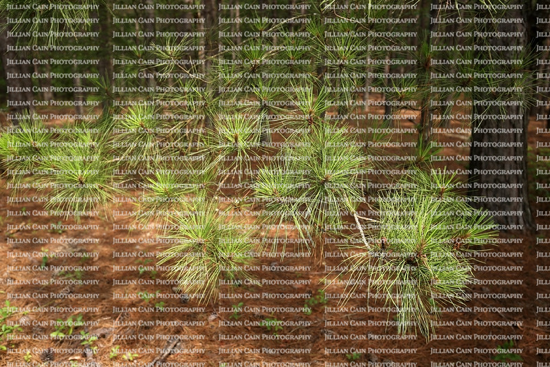 Close up of young pine needles growing in a field in rural Georgia, USA.