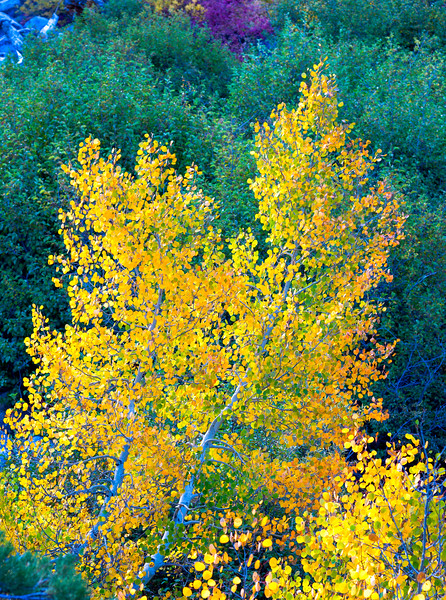 Deadman Creek Morning Fall Colors - Sonora Pass-3