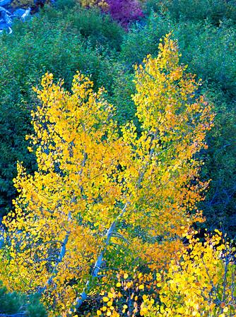 Deadman Creek Morning Fall Colors - Sonora Pass-3