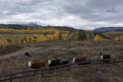 Castle Mountain and Cows