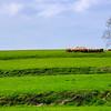 Moutons paturant sur les vertes patures d'Ainhoa - Aquitaine - France