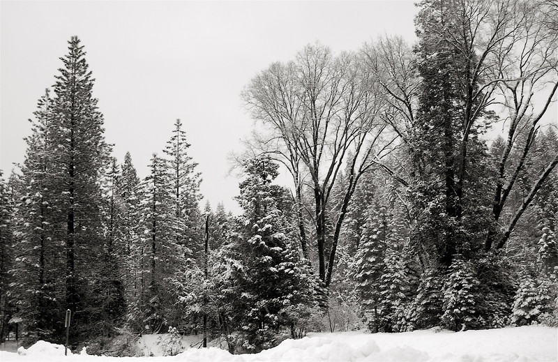 trees and snow in truckee, ca
