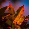 Day #192 - Afternoon Maple (Carol's Garden)