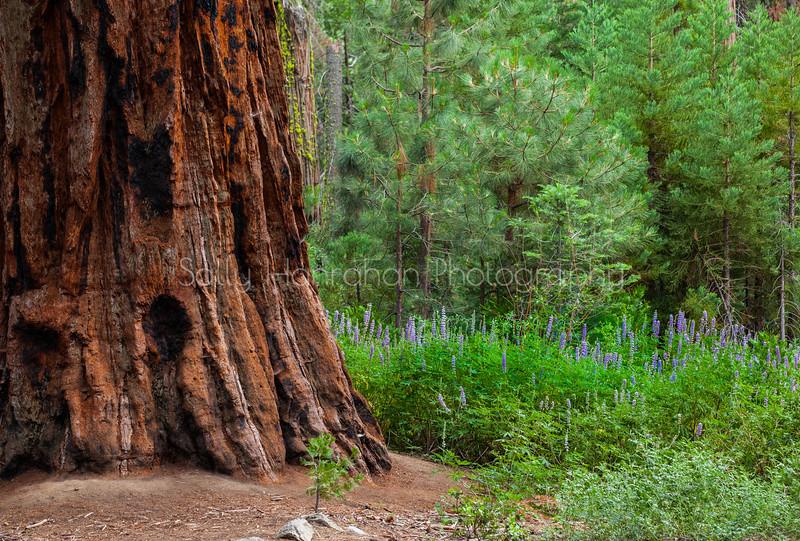 Mariposa Grove~California