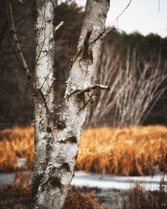Birches in Lake Elmo Park Reserve