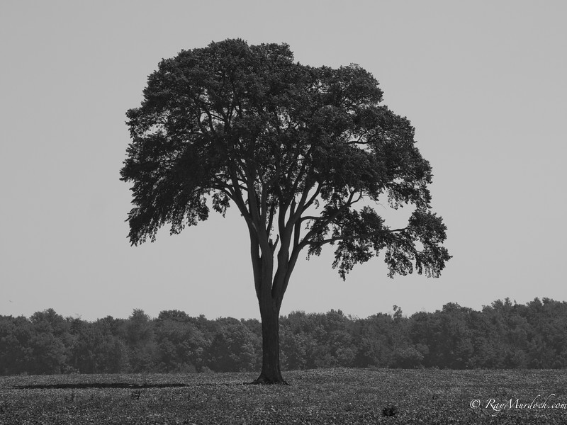 The Elm Tree.  This Elm tree sits in the middle of a field north of London Ontario Canada.  It is one of the few remaining Elm trees left in the area.  This tree is very majestic sitting in the middle of the field with nothing else around.  This is my son in law's favorite tree.  For a perspective on its location check the original gallery.  I am thinking this is the print that I will have produced for them to frame.
