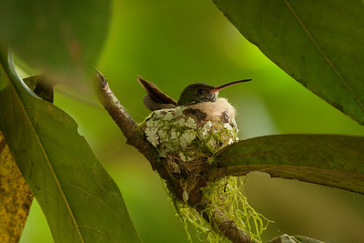 Hummer on Nest - Costa Rica