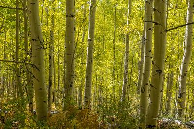 Yellow Burst of Aspen Trees
