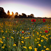 Warwickshire wild flower meadow