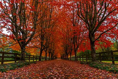 Fall Maple Lane