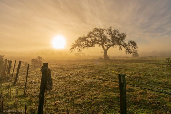 Oak in the Gloaming