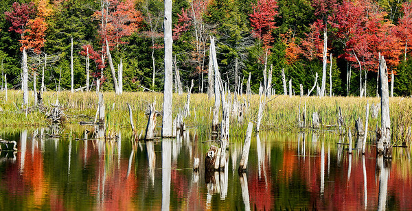 Autumn reflection in beaver pond with tree trunks