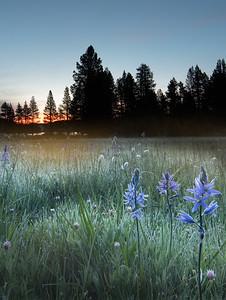 Quamash Camas Lily Sunrise