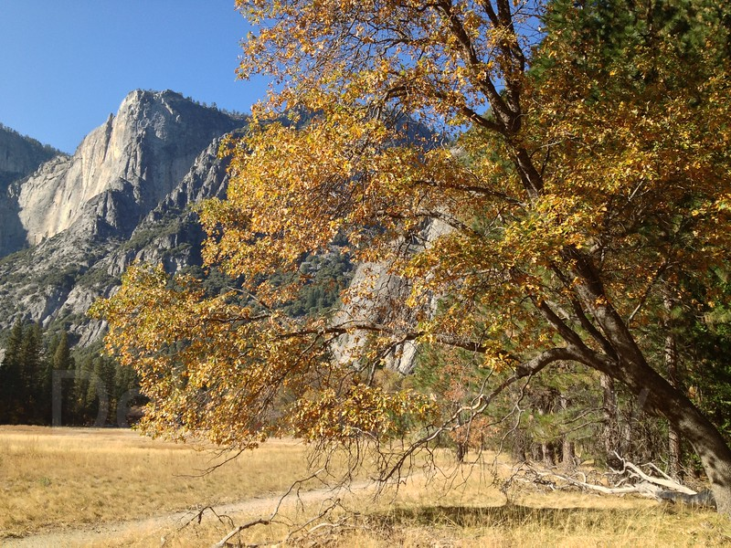 Golden tree, Yosemite Valley, Yosemite, California
