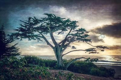 Seaside Cypress, Carmel, California