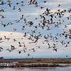 Snow Geese Flyoff at Sacramento National Wildlife Refuge 2916
