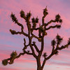Pink Skies at Joshua Tree