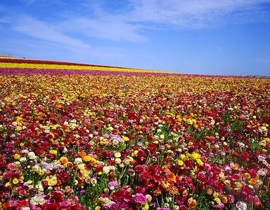 Carlsbad Flower Fields 2006