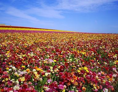 Carlsbad Flower Fields 2006