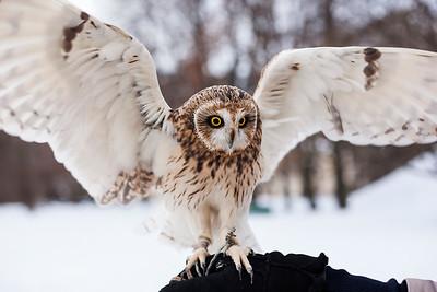 Short-eared owl named Shast. Saint Petersburg, Botanical Garden, 2017.