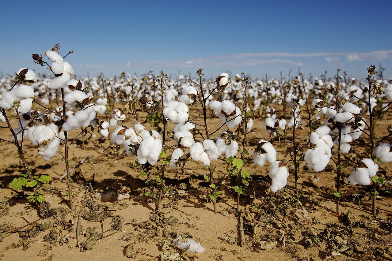 Cotton Field. West Texas.