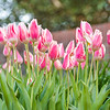 Pink & White Tulips at Brookgreen Gardens, Murrells Inlet, SC