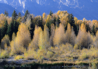 Cottonwoods and Aspen