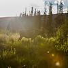 Golden Moose