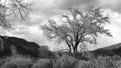 Cottonwood Tree, Jemez New Mexico