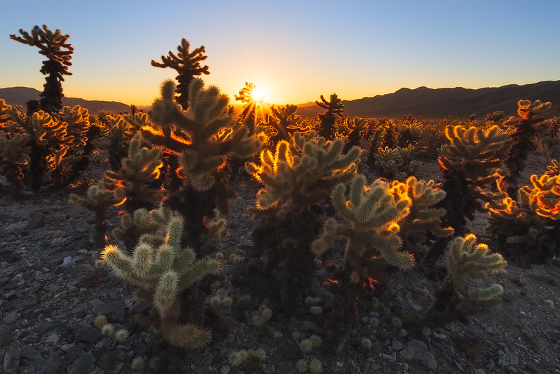 Desert Coral