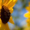 Day #229 - Sunflower