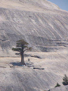 Pam really liked this tree growing from this giant granite mountain.