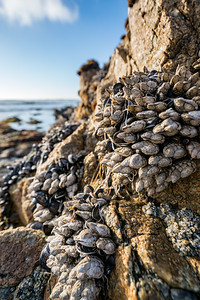 Barnacles at Spanish Bay