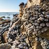 Barnacles at Spanish Bay