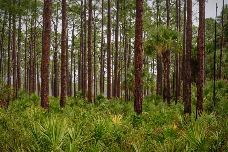 Slash pine trees and Saw palmetto plants at Babcock Wildlife Management Area after rainstorm near Punta Gorda, Florida